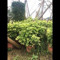广东花叶鸭脚木
