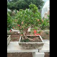 廣州石榴盆景經銷商