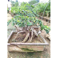 甘肅石榴盆景供貨商