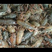 湖北基围虾苗多少钱一斤_基围虾养殖技术