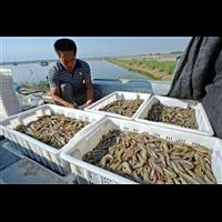 湖北基围虾苗和养殖技术_基围虾苗和养殖技术