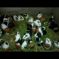 福建豚鼠养殖