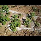 红薯采购基地