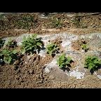 霸州德旺养殖红薯