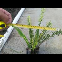 广东中山7斤袋肾蕨(排骨草)大量供应