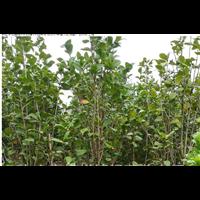 供应茶花高度2米冠幅1米园林景观设计种植