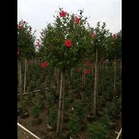 中山红花绿化苗木