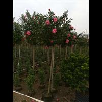 中山大红花种植基地