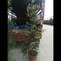 中山红千层绿化苗木