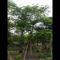 中山凤凰木(米径18-20cm)绿化苗木
