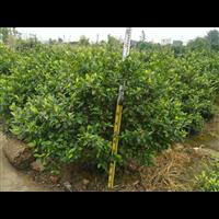 中山大量含笑球绿化苗供应