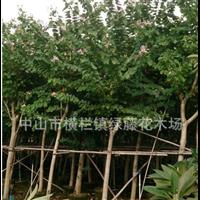 中山园林绿化景观设计种植养护工程花木场供应宫粉紫荆