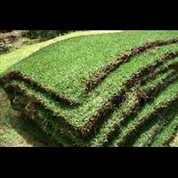 兴义草皮采购热线
