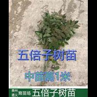 贵州铜仁五倍子树苗