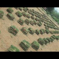 成都台湾二号草皮
