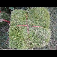 成都马尼拉草坪,成都草坪,成都马尼拉草坪批发