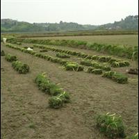 成都草皮种植基地