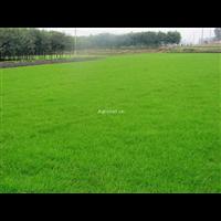 成都草坪草皮-成都马尼拉草坪--成都草坪-成都马尼拉草坪