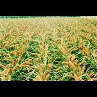 小杂粮分布在我国