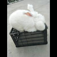 优质长毛兔