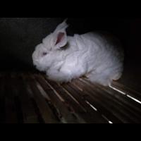 体型大长毛兔