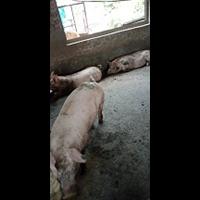 鸡泽县生猪