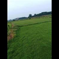 湖南马尼拉草皮,益阳马尼拉草皮
