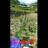 高山刺葡萄苗