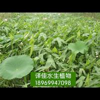 慈姑苗 浙江水生鸢尾 浙江水生植物