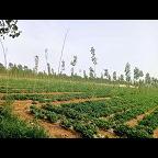 福祥玉米种植