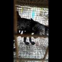 银峰养殖场出售狐狸皮