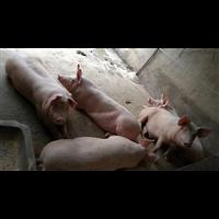 纯绿色喂养优质香猪