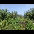 梨树种植出售大量水果梨