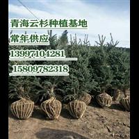 云杉苗木培育