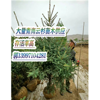 长期供应新疆云杉苗木