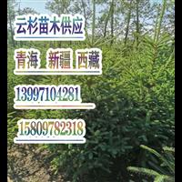 云杉苗木培育种植供应