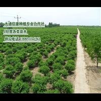 青海花灌木培育供应