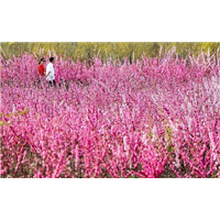 榆叶梅培育种植销售