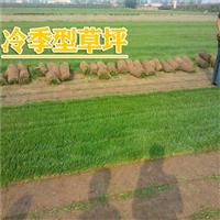 冷季型草坪批发