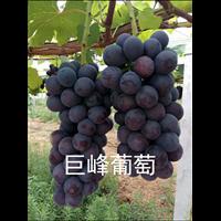 安徽葡萄苗