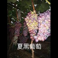浙江葡萄苗栽植方法