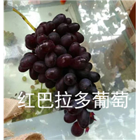浙江葡萄苗
