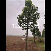 12公分楸树:周口楸树