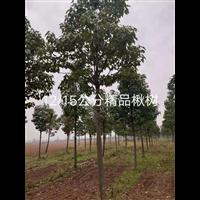 12公分精品楸树:淮阳楸树