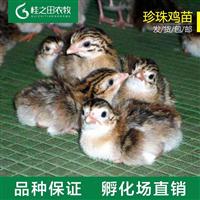 珍珠鸡苗厂家直销保证质量正品,包邮送货
