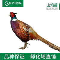 七彩山鸡苗养殖正宗山鸡纯种野鸡出壳苗现货