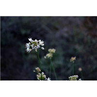 榆林山葱花