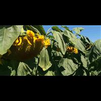 玉米 向日葵 牛