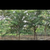 九江合欢-九江哪里有合欢树