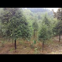 江西红豆杉-九江红豆杉/红豆杉基地